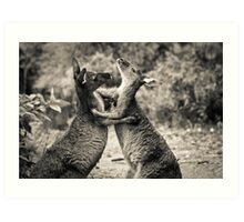 Fighting Kangaroo's, Perth hill's, Western Australia Art Print
