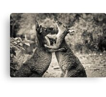 Fighting Kangaroo's, Perth hill's, Western Australia Canvas Print