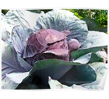 Red Cabbage for sale Poster