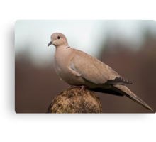 Collared Dove Canvas Print
