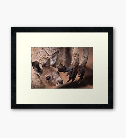 Mother and Joey Kangaroo, Perth hill's, Western Australia Framed Print