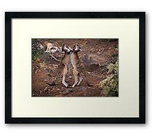 kangaroo's fighting, Perth hill's, Western Australia Framed Print