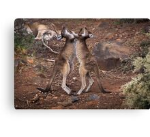 kangaroo's fighting, Perth hill's, Western Australia Canvas Print