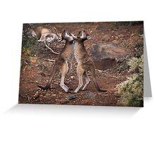 kangaroo's fighting, Perth hill's, Western Australia Greeting Card