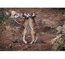 kangaroo's fighting, Perth hill's, Western Australia Photographic Print