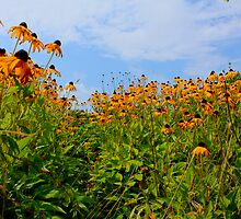 Cone Flowers Hyannis ,Massachusetts USA by Jonathan  Green