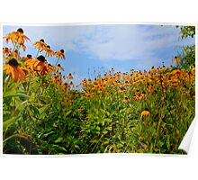 Cone Flowers Hyannis ,Massachusetts USA Poster