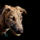 Lurcher by outwest photography.co.uk