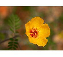 Arizona Poppy Photographic Print