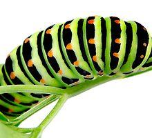 Swallowtail caterpillar by homydesign