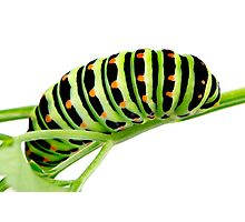 Swallowtail caterpillar Photographic Print