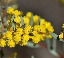 Boxed Leaf Wattle by garts
