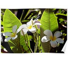 Plumeria bunch and buds Poster