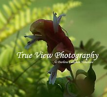 Mexican Shrimp Plant (Justicia brandegeeana )  by Darlene Callahan Hohensee