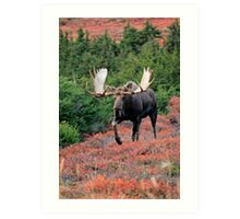 Bull Moose in Autumn Art Print