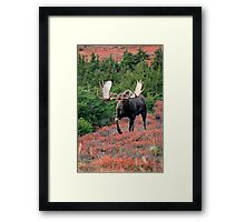 Bull Moose in Autumn Framed Print