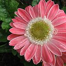 Pretty-in-Pink Gerbera Daisy by BlueMoonRose