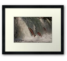 A Trio of Jumping Salmon Framed Print