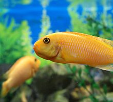 Yellow fish  by Butchie