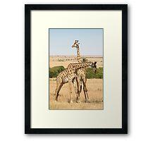 Maasai Giraffes. Males Necking. #3. Maasai Mara, Kenya Framed Print