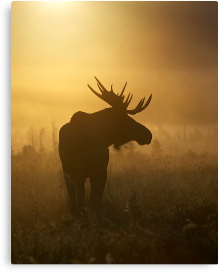 Bull Moose in Fog by Tim Grams