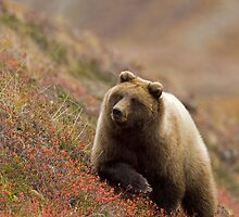 Grizzly Bear in Berries by Tim Grams