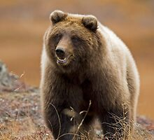 Toklat Grizzly Bear by Tim Grams