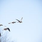 Ducks in Flight by richardwalsh