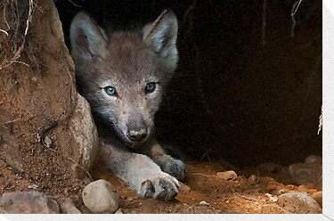 Timber Wolf Pup in Den by Michael Cummings