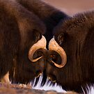 Musk Ox Eye to Eye by Tim Grams