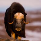 A Proud Bull Musk Ox by Tim Grams