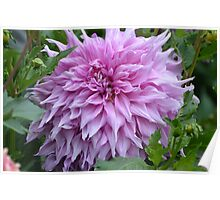 Dahlia in Silky Mauve... Poster