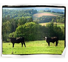 Cows On The Hills of Punxsutawney, PA Poster