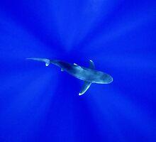 Shark Through  Sun Reflections by Brent Barnes