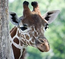 Peeking Giraffe by Brad Scaggs
