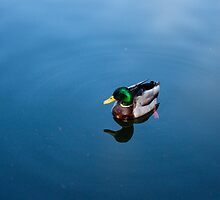Lonely Duck by Brad Scaggs