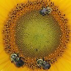 Bees on a Sunflower by ClaireSinclair