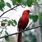 Male Cardinal by kentuckashee