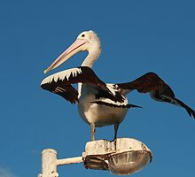 Pelican On Lightpost Stretching by Graeme Lawry