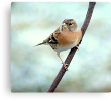 Brambling  Canvas Print