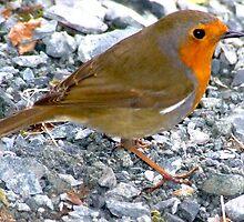 Robin  by ivanfeltonglenn
