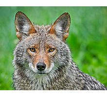 Coyote pretty Photographic Print