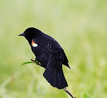 Blackbird on a Branch by Alyce Taylor
