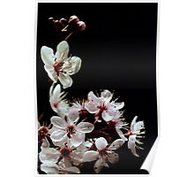 Beautiful blossoms on black Poster