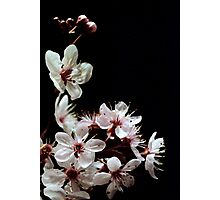 Beautiful blossoms on black Photographic Print
