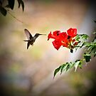 Humming Bird Humming  by Janette  Kimbrough