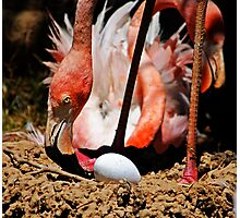 Flamingo and Egg Photographic Print