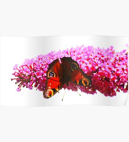 Peacock Butterfly on Buddleja, Darlington England Poster