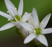 Ramsons by Audid00dy