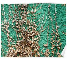 Dead ivy on green wall Poster